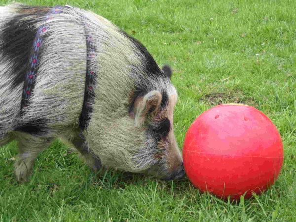 Photo produit balle cochon