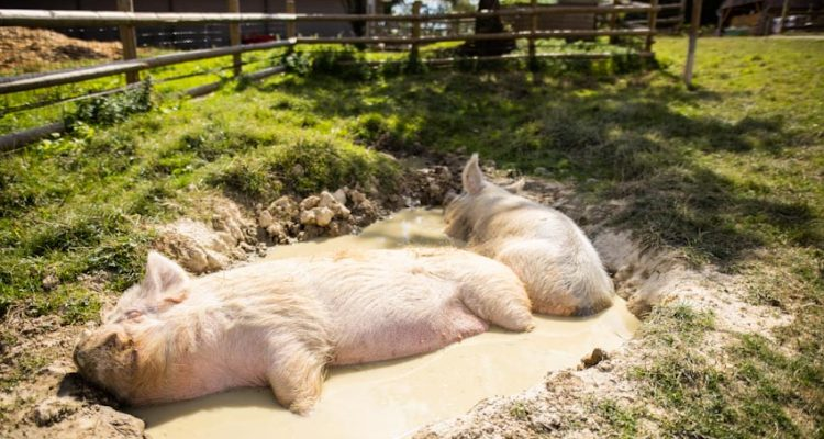 refuge-heston-sauvetage-cochon