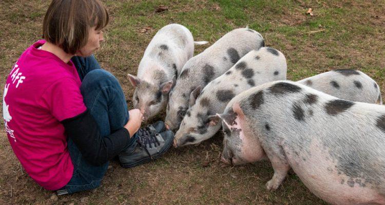 refuge-cochons