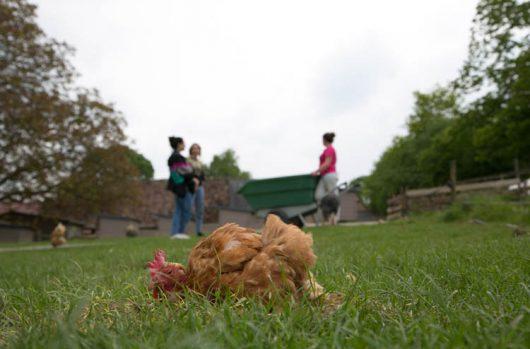 sauvetage-poules