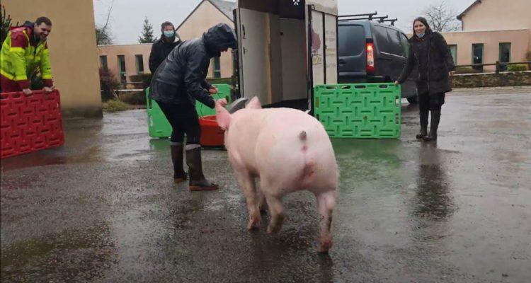 un cochon sauvé après noel