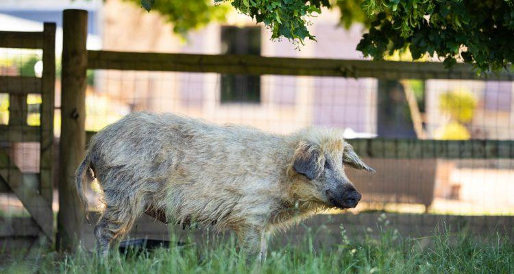 aider animaux cochon