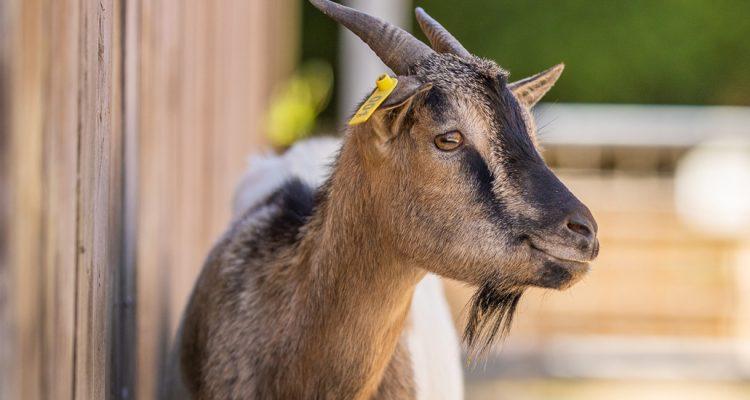 aider animaux chèvre