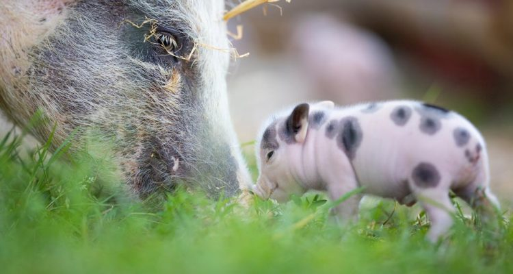 aider animaux cochon