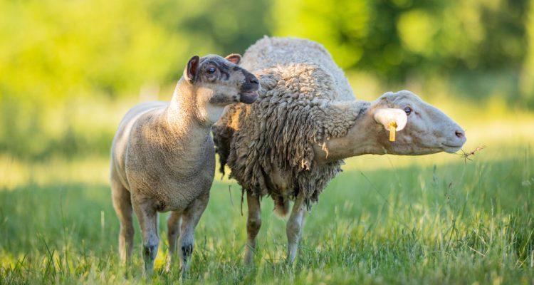 aider animaux mouton