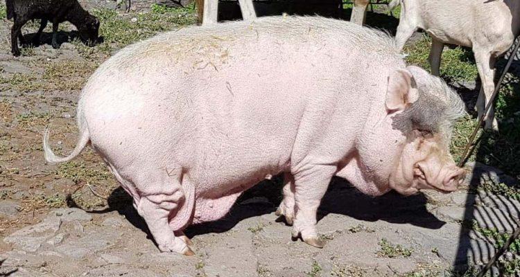 arthur-cochon-03