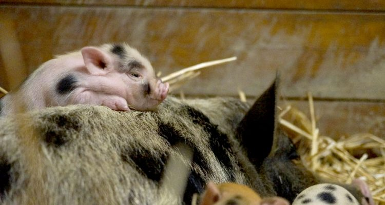barbabelle-cochon-nain-01