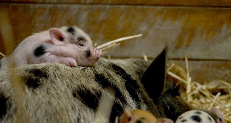 barbabelle-cochon-nain-03