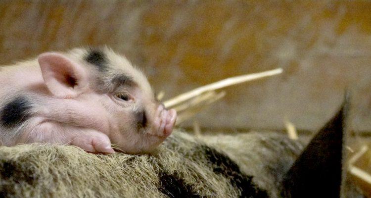 barbabelle-cochon-nain-header