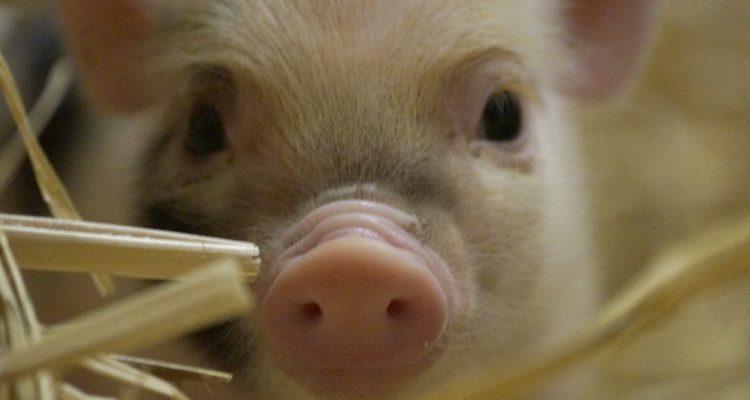barbapapouille-fille-5-cochon-nain-02