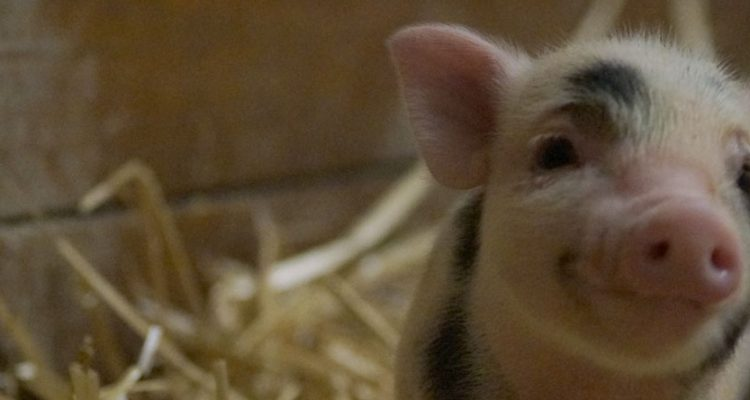 barbidou-cochon-nain-header