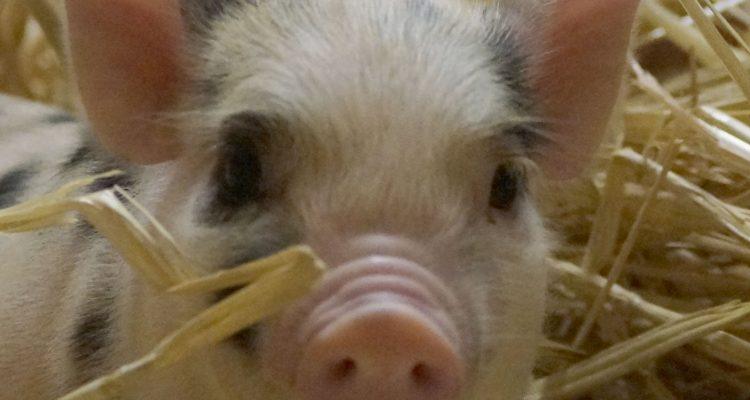 barbouille-cochon-nain-02
