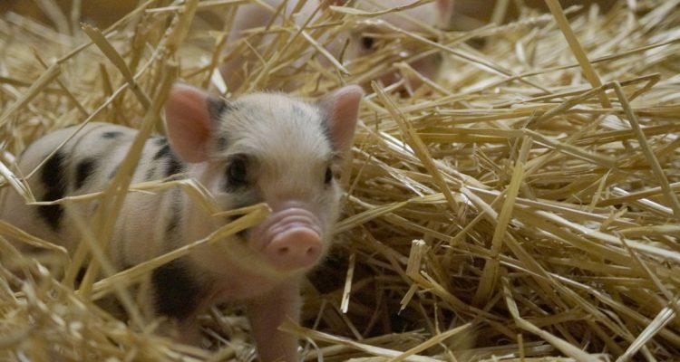 barbouille-cochon-nain-03
