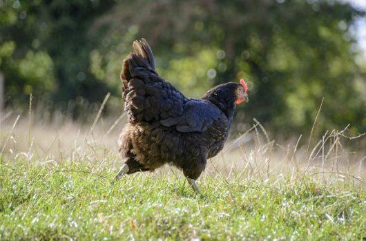 poule refuge GroinGroin