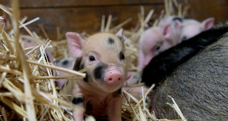 sauvetage bébés cochons